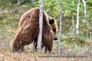 bear-scratching-butt-on-tree