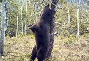 Big_bear_scratch